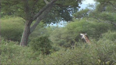 Giraffe walking Stock Video Footage