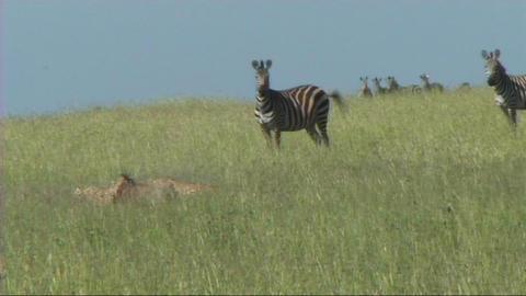 Cheetahs making a kill Stock Video Footage