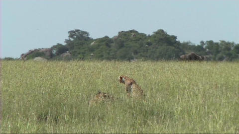 Cheetahs resting Live Action