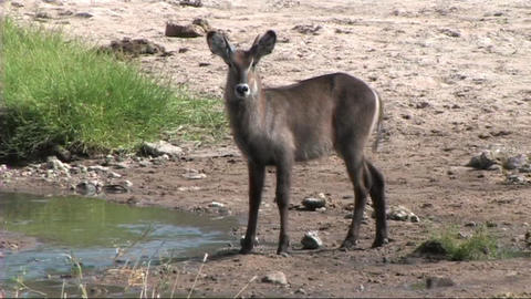 Waterbuck walking Stock Video Footage