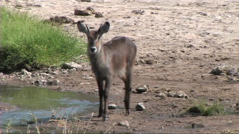 Waterbuck walking Stock Video Footage