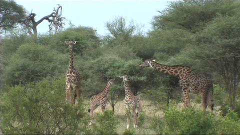 Giraffe feeding Footage