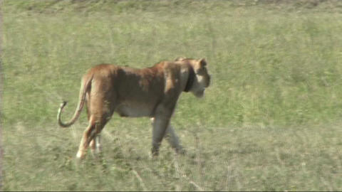 Lioness walking Stock Video Footage