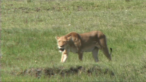 Lioness walking Footage