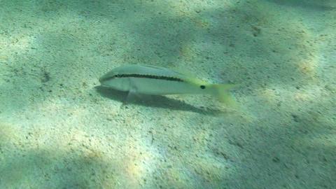 Goatfish feeding Stock Video Footage