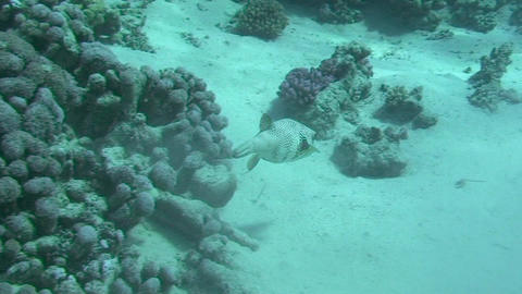 Pufferfish swimming Footage