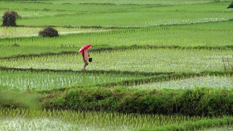 walking on rice field in rain Stock Video Footage
