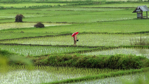 walking on rice field in rain Footage
