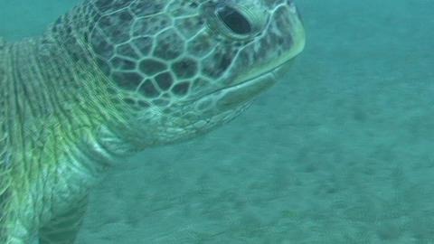 Sea turtle feeding Stock Video Footage