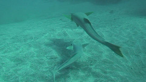 Remora swimming Stock Video Footage
