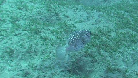 Pufferfish swimming Stock Video Footage