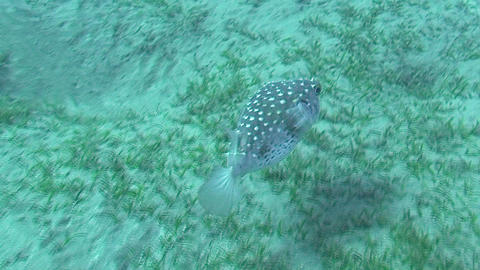 Pufferfish swimming Stock Video Footage