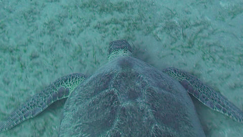 Sea turtle feeding Stock Video Footage