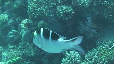 Sergantfish swimming Stock Video Footage