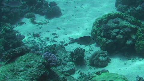 Bigeye emperor swimming Stock Video Footage