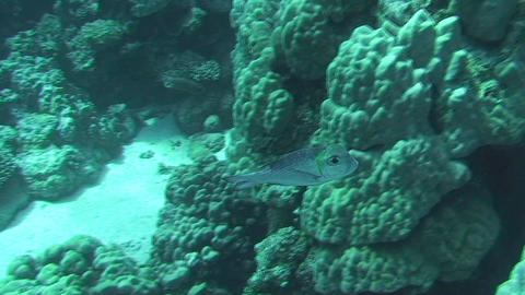 Bigeye emperor swimming Stock Video Footage