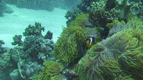 Anemone fish swimming Stock Video Footage