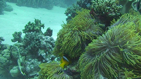 Anemone fish swimming Footage