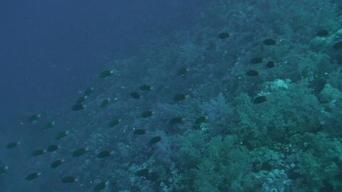 Shoal of unicornfish Stock Video Footage