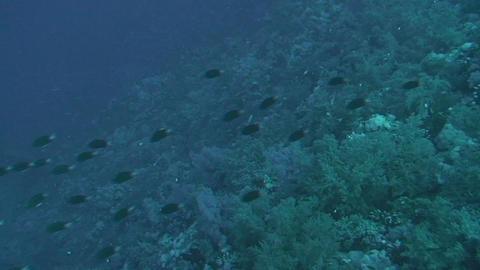 Shoal of unicornfish Stock Video Footage