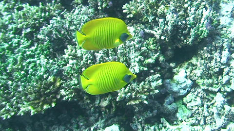 Butterflyfish swimming Footage