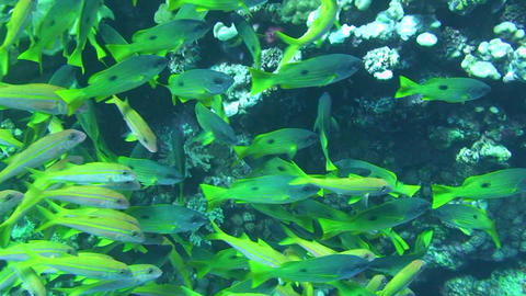 Shoal of snappers Stock Video Footage