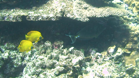 Butterflyfish swimming Stock Video Footage