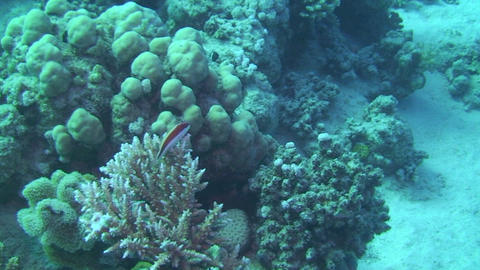 Cleaner fish resting Stock Video Footage