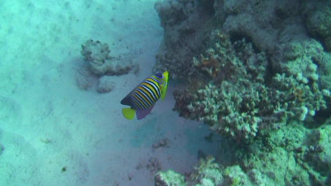 Angelfish in the Red Sea Footage