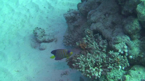 Angelfish in the Red Sea Stock Video Footage