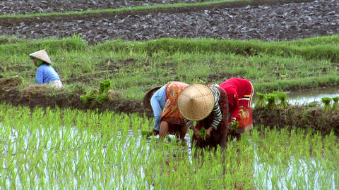 woman plant rice Stock Video Footage