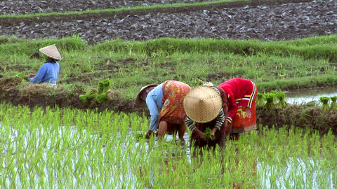 woman plant rice Footage