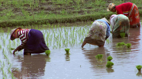 woman plants rice close Stock Video Footage