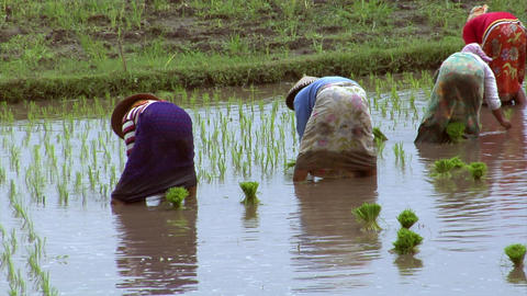 woman plants rice close Footage