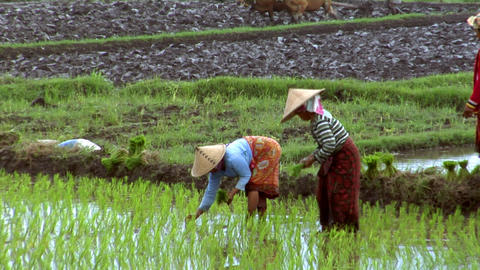 woman plant rice tilt shot Footage