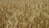Golden Wheat Field stock footage