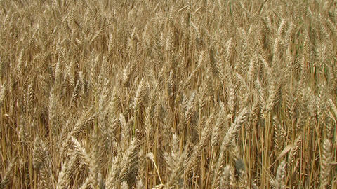 Golden Wheat Field Stock Video Footage