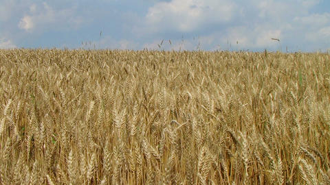 Wheat Field Against Sky Stock Video Footage