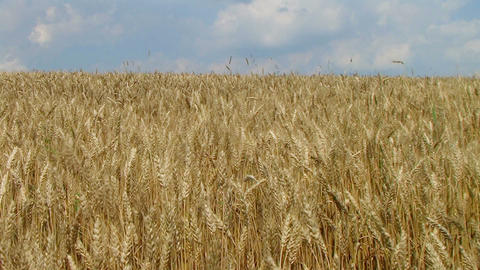 Wheat Field Against Sky Footage