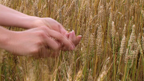 Hand Sifting Wheat 02 Stock Video Footage