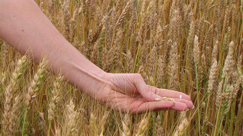 Hand Sifting Wheat 02 Footage