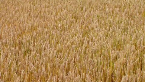 Golden Wheat Field 04 Stock Video Footage