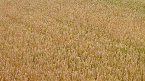 Golden Wheat Field 04 Footage