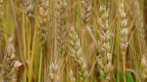 Golden Wheat Heads Stock Video Footage