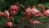 American Flamingo Mating Ritual 02 stock footage