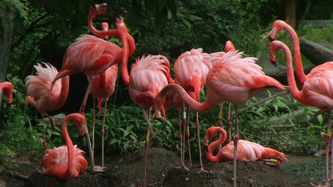 American Flamingo Mating Ritual 02 Stock Video Footage
