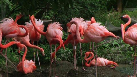 American Flamingo Mating Ritual 02 Stock Video Footage