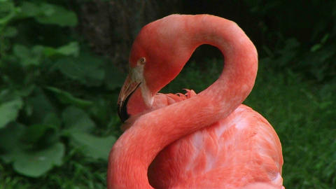 American Flamingo Grooming Stock Video Footage