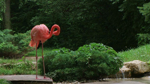 American Flamingo Mating Ritual Stock Video Footage