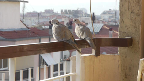 2 birds on balcony Footage